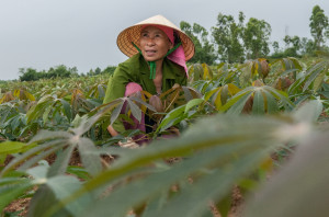 Spotlight on CIAT's cassava research in Asia