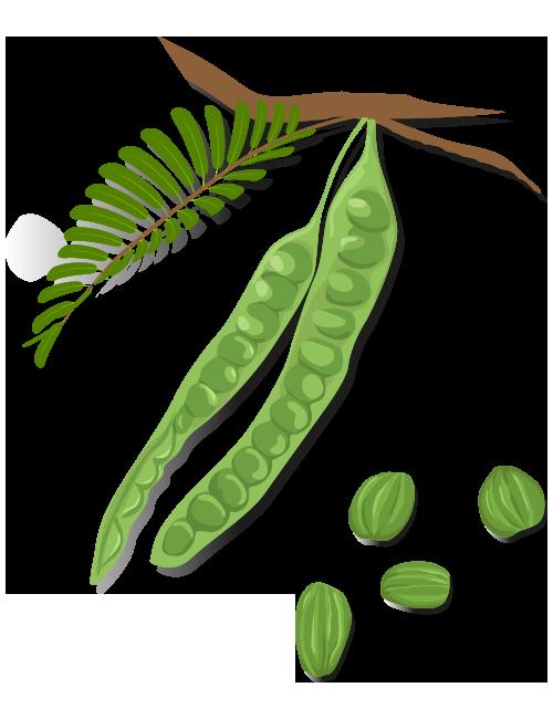 https://www.foreststreesagroforestry.org/wp-content/uploads/2021/04/BitterBean-Fruit-1.png