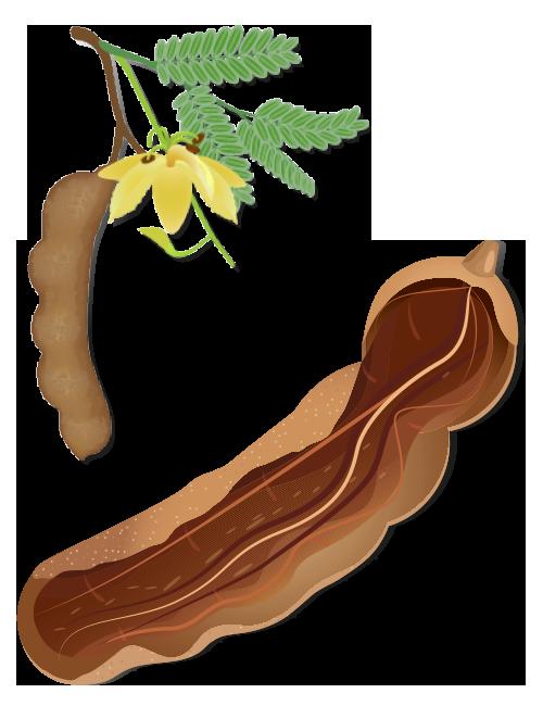 https://www.foreststreesagroforestry.org/wp-content/uploads/2021/04/Tamarind-Fruit.png